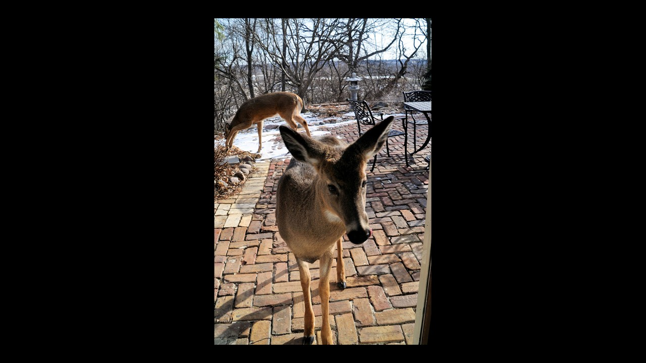 White Tail Deer Peeking Into Our Home