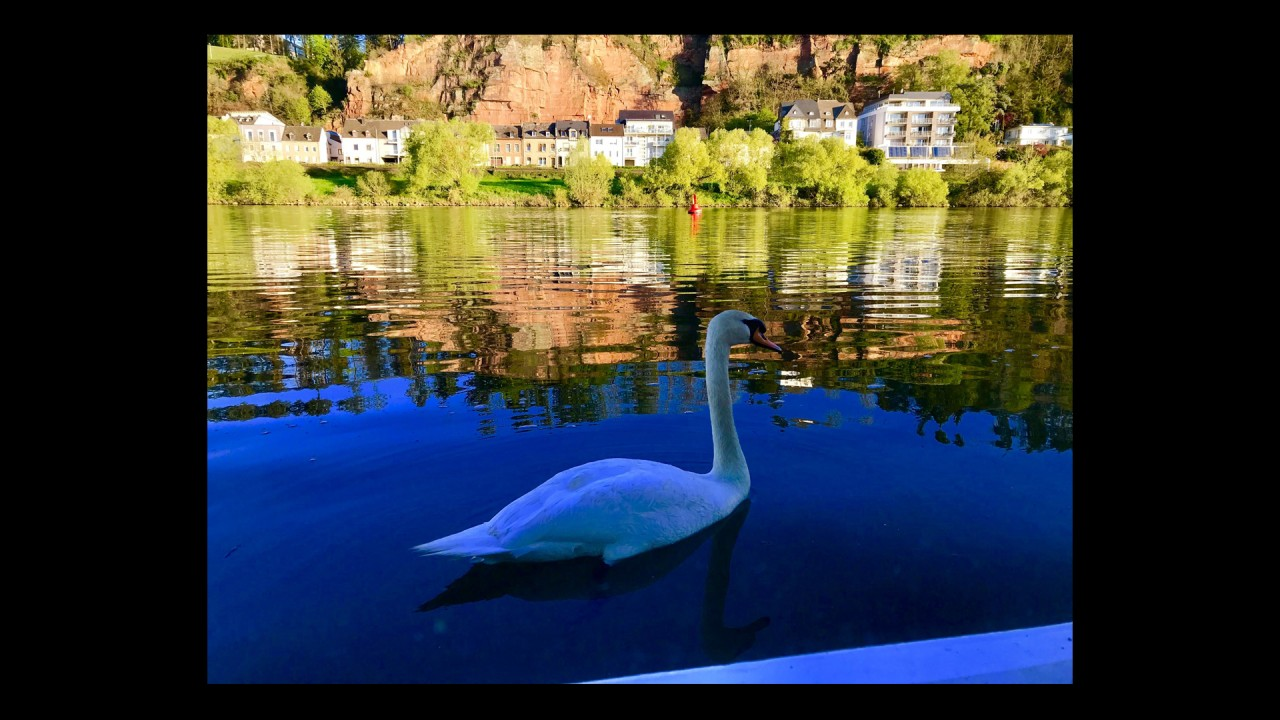 A Swan Tapping on the Window